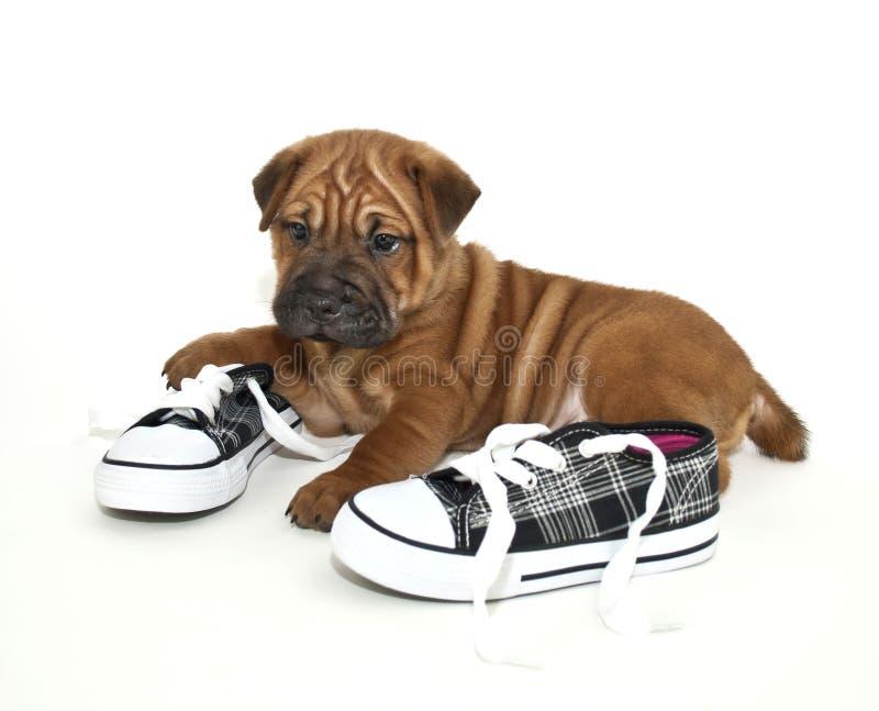 Shar pei Puppy stock photos