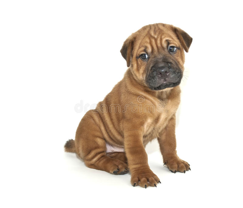 Shar pei Puppy. Very sweet Shar pei puppy sitting on a white background royalty free stock photography
