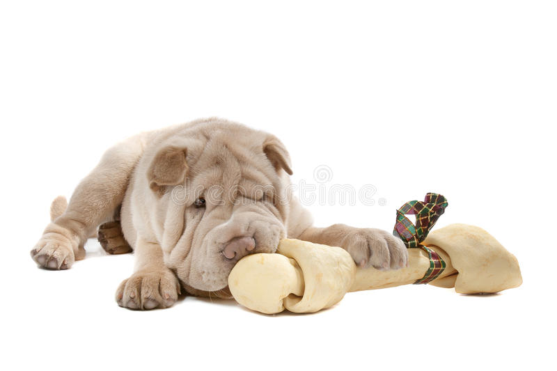 Shar-pei puppy. In front of a white background eating a bone stock photography