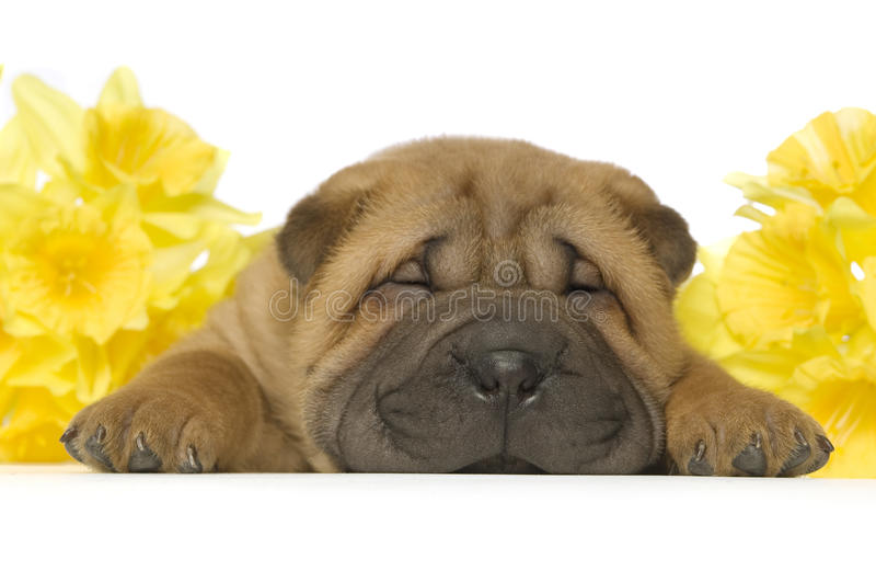 Shar-Pei puppy stock photo