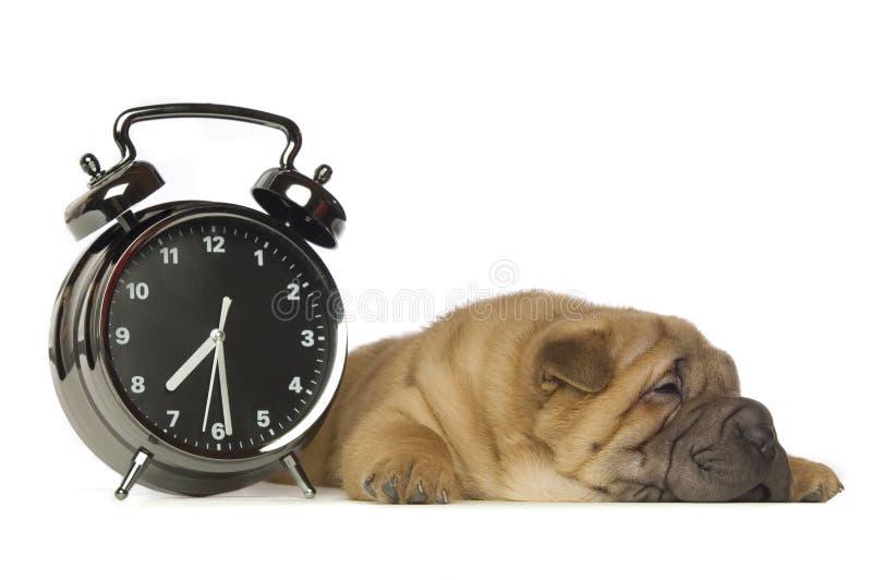 Shar-Pei puppy stock image