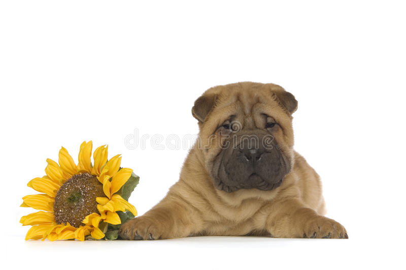 Shar-Pei puppy stock photos