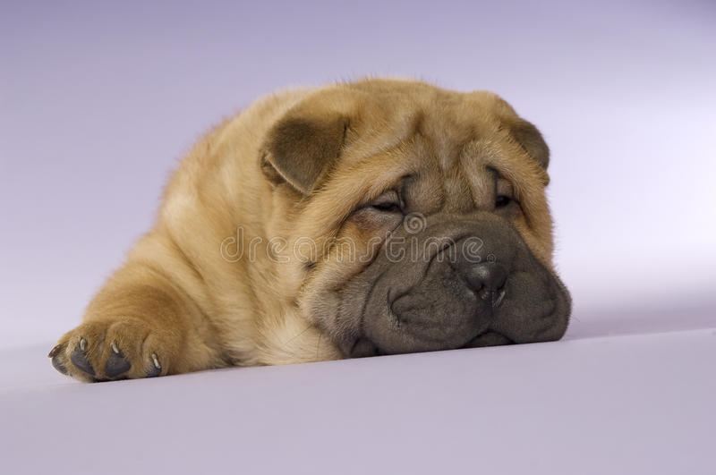 Shar-Pei puppy royalty free stock image