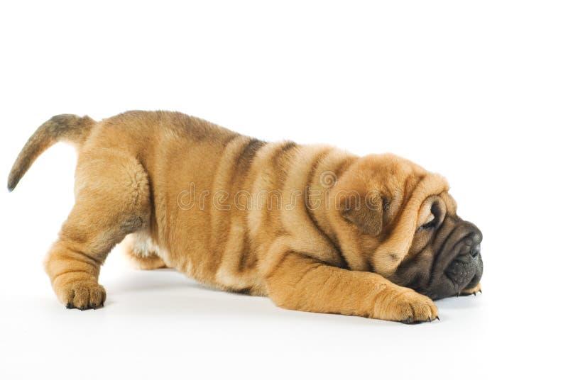 Shar pei puppy stock photography
