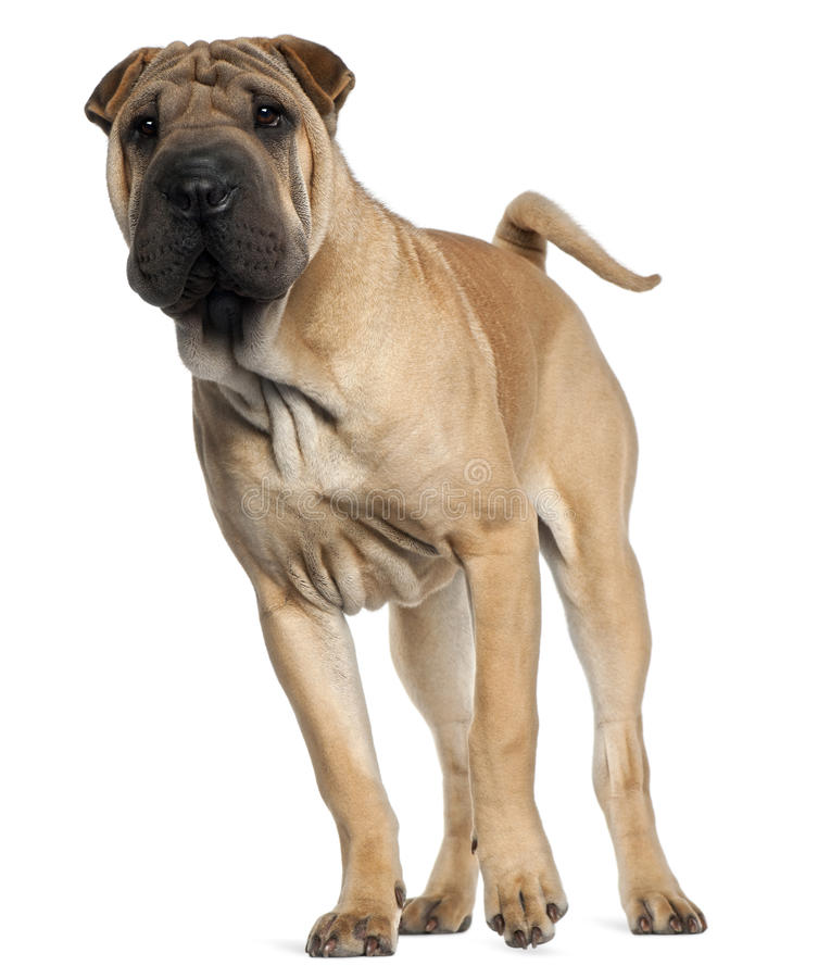 Download Shar Pei Puppy, 6 Months Old, Standing Royalty Free Stock Images - Image: 20378949