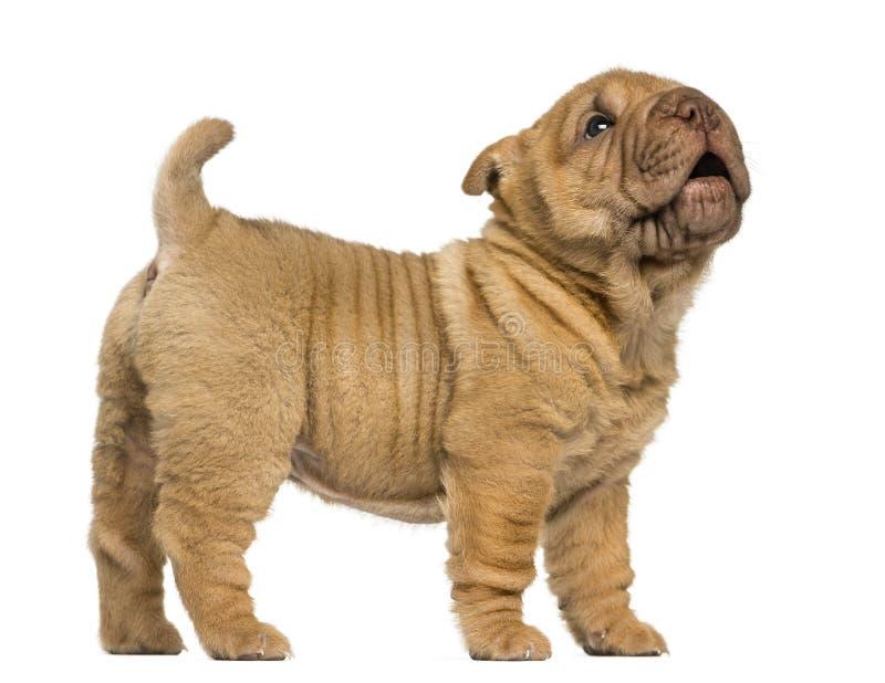 Shar Pei-puppy die, ontschorsen, geïsoleerd op whi bevinden zich royalty-vrije stock foto