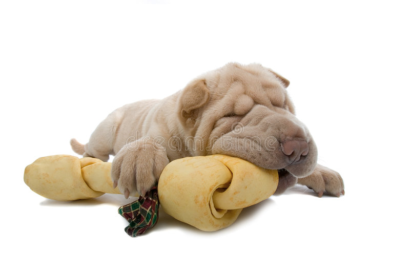 Shar-Pei puppy dog with a bone. Isolated on a white background stock photography