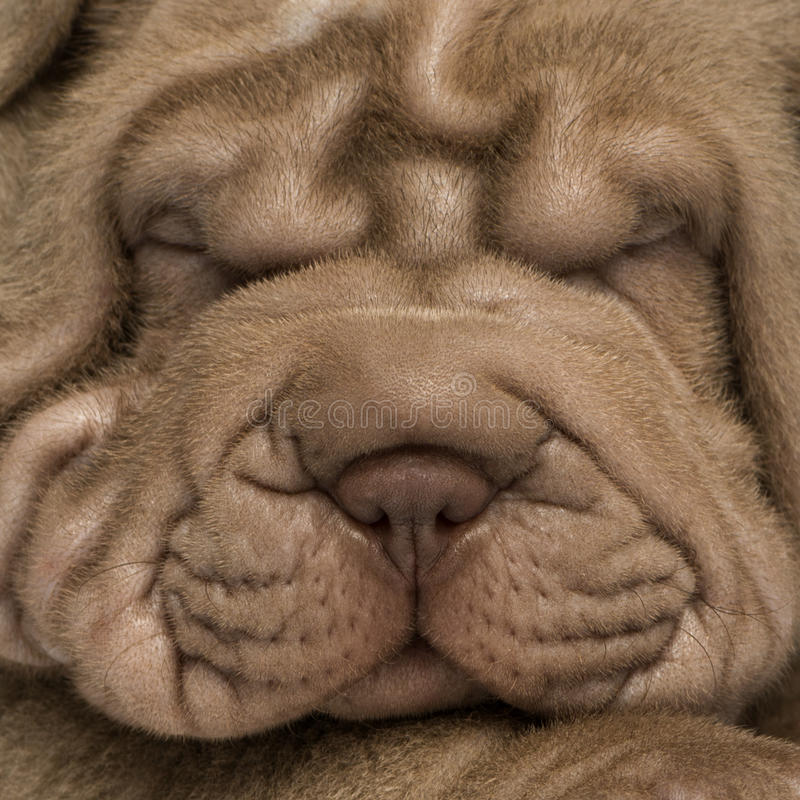 Shar Pei puppy's face, isolated on white stock photo