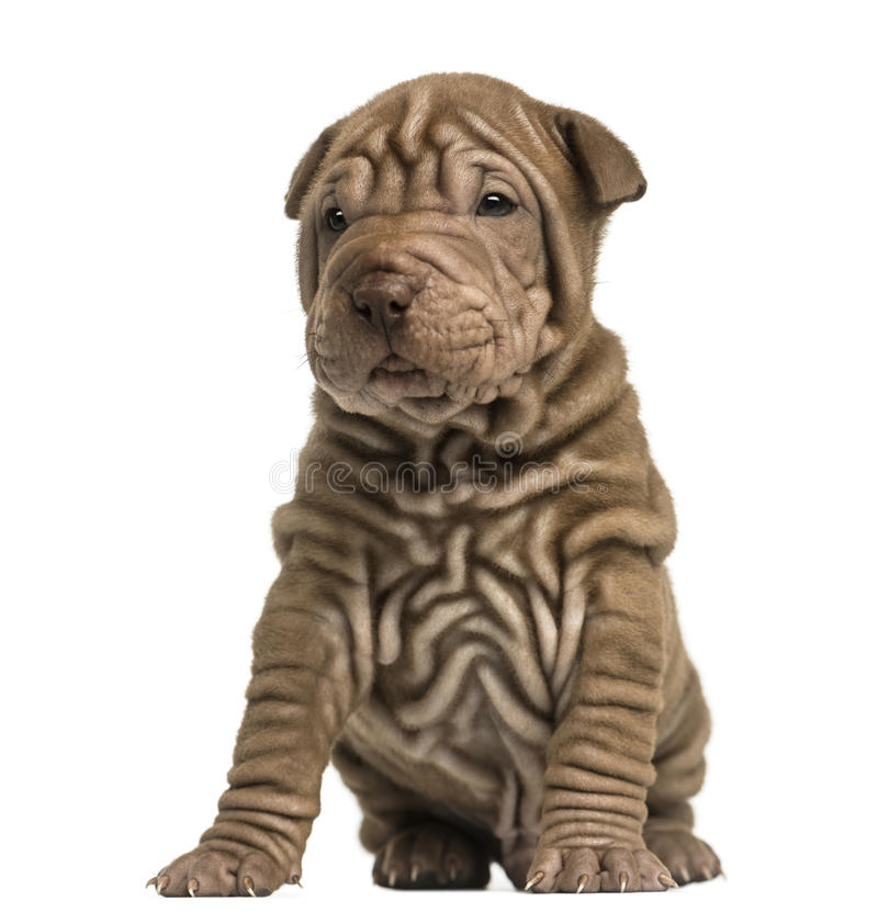 Shar Pei puppy sititng. Isolated on white stock photo