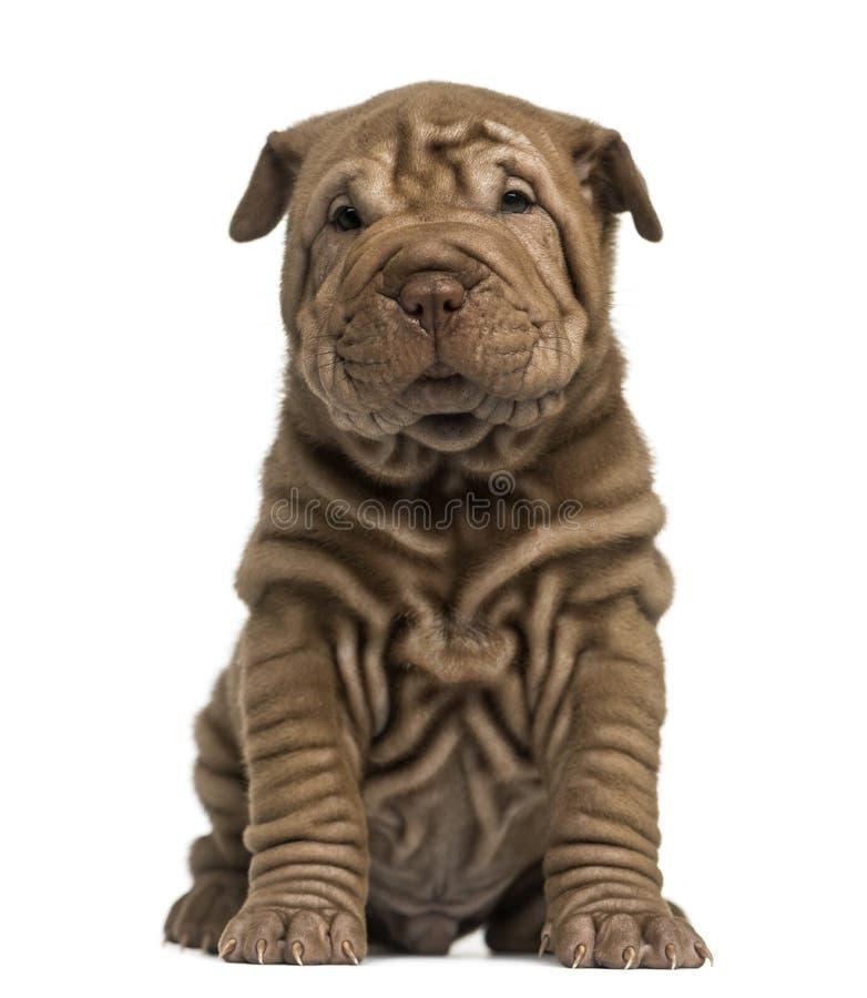 Download Shar Pei puppy sitting stock photo. Image of shar, mammal - 38841436