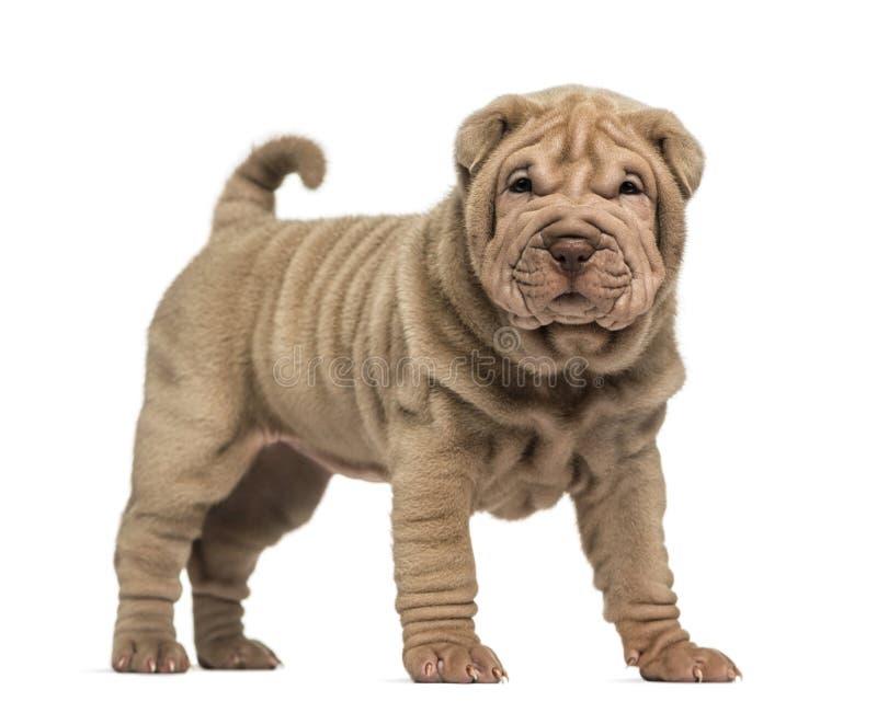 Shar Pei-puppy status, die de camera bekijken stock fotografie
