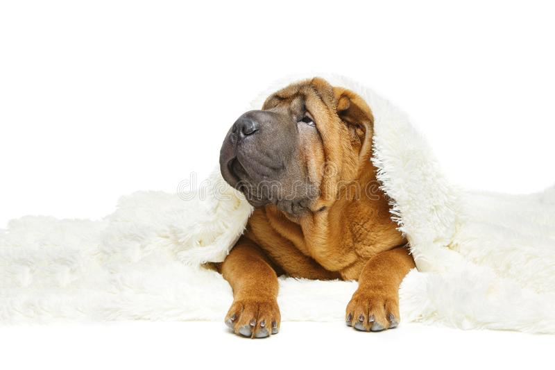 Shar pei puppy under plaid stock photo