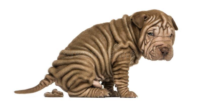 Shar Pei-puppy zuiveren, die de camera bekijken, royalty-vrije stock foto