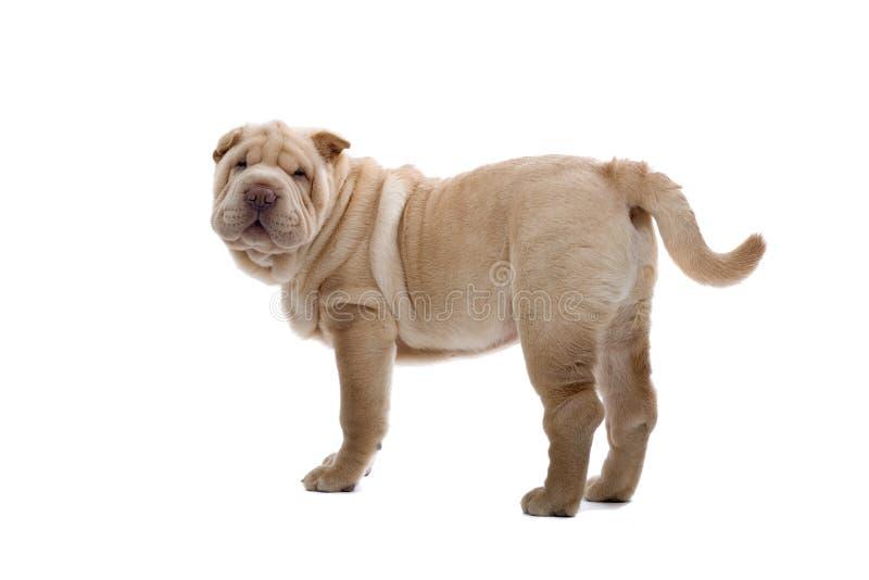 Shar-Pei puppyhond stock afbeeldingen