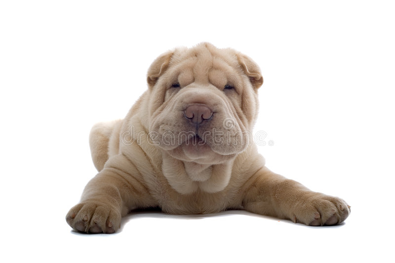 Shar-Pei puppyhond royalty-vrije stock afbeelding