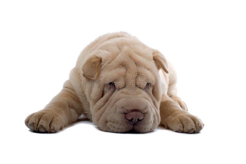 Shar-Pei puppyhond royalty-vrije stock afbeeldingen