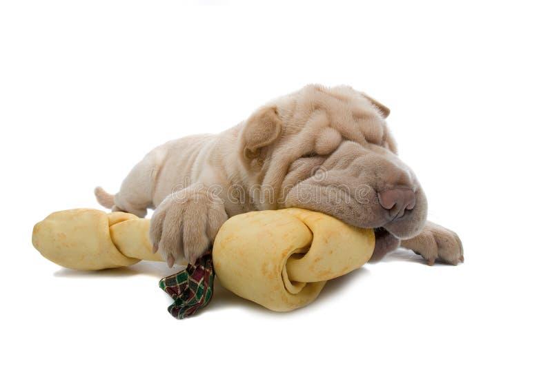 Shar-Pei puppyhond met een been stock fotografie