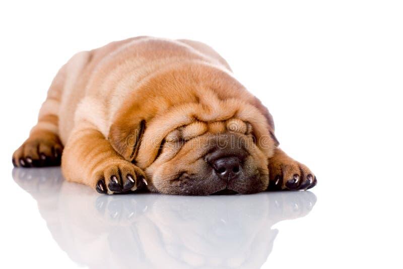 Shar Pei Schätzchen-Hundeschlafen stockfoto