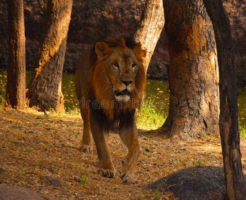 ShareKhan - Walk of Lion stock images