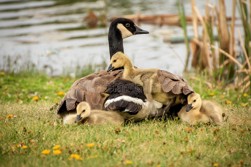 Sharing a warm space. Baby goslings sharing a warm space under mom's wings royalty free stock image