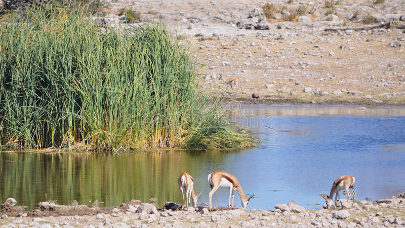 Sharing a watering hole in Namibia Africa stock images