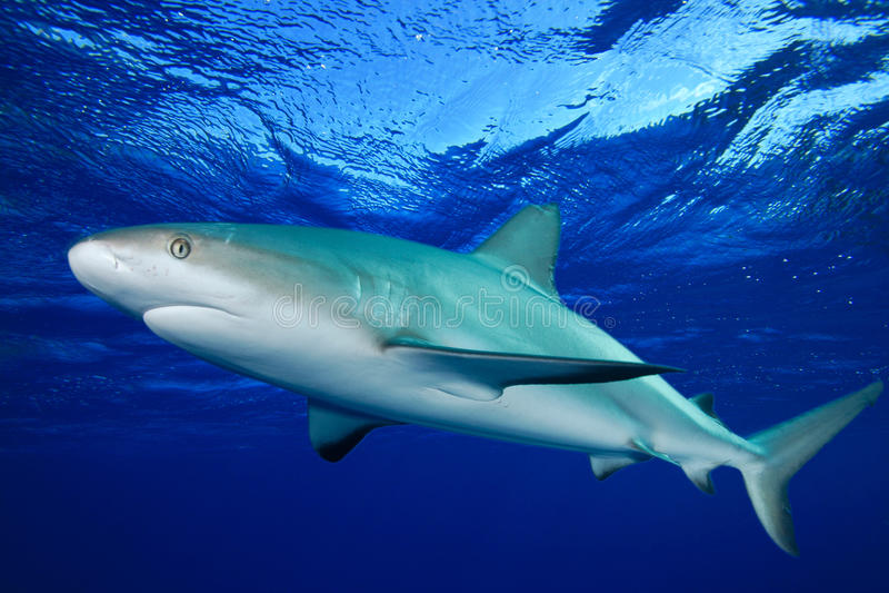 Download Shark stock image. Image of water, gray, shark, environment - 17757457
