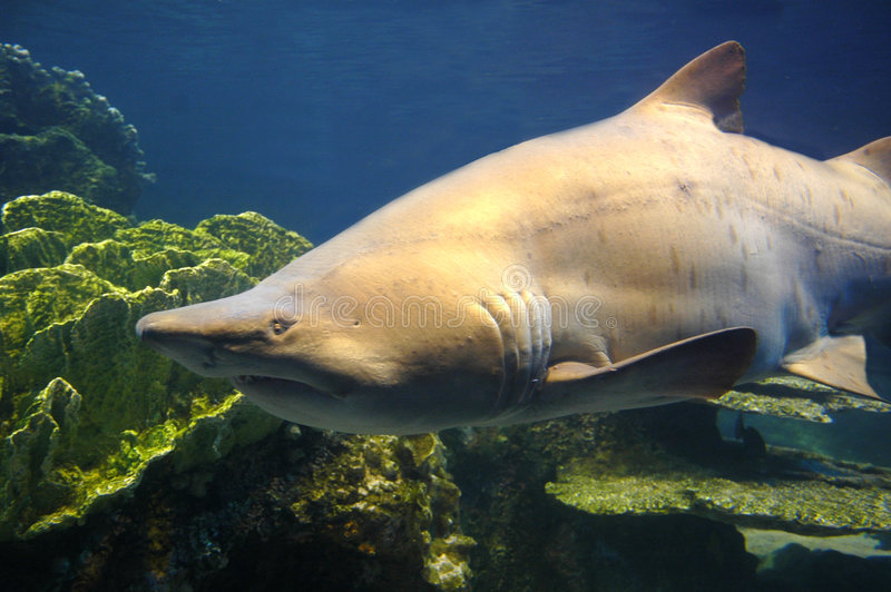 Download Shark. stock photo. Image of endangered, killer, shark - 2737042