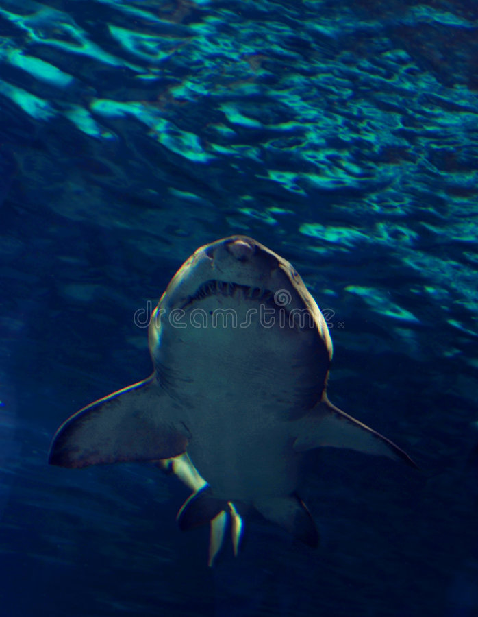 Shark. Bottom view of a sand tiger shark in clear blue water