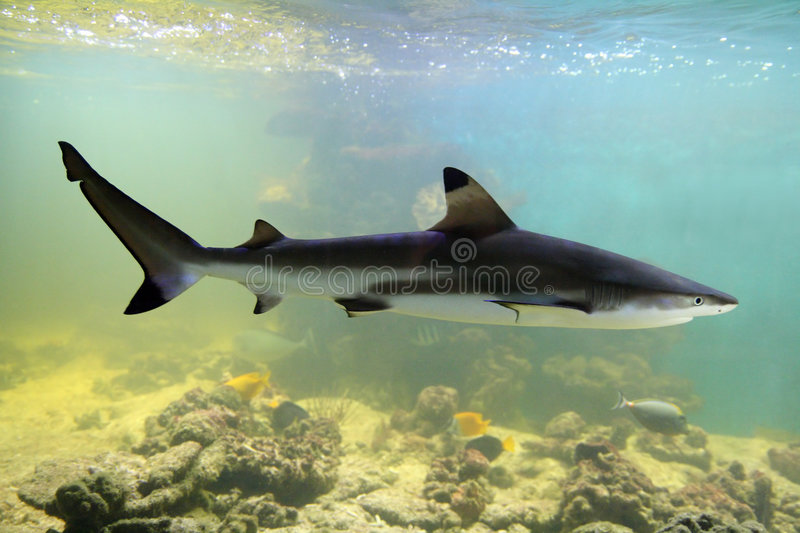 Shark. Swimming shark underwater in aquarium