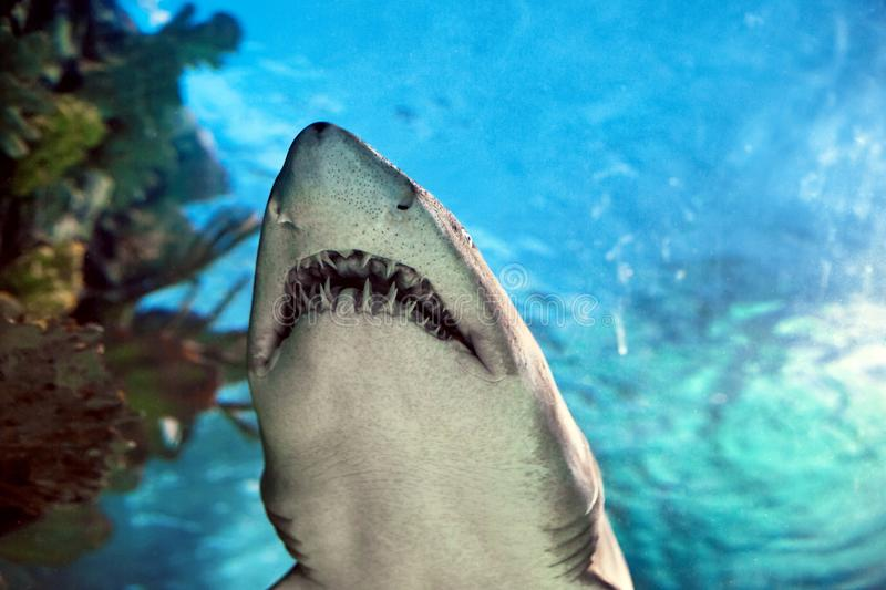 Shark in the aquarium royalty free stock photography