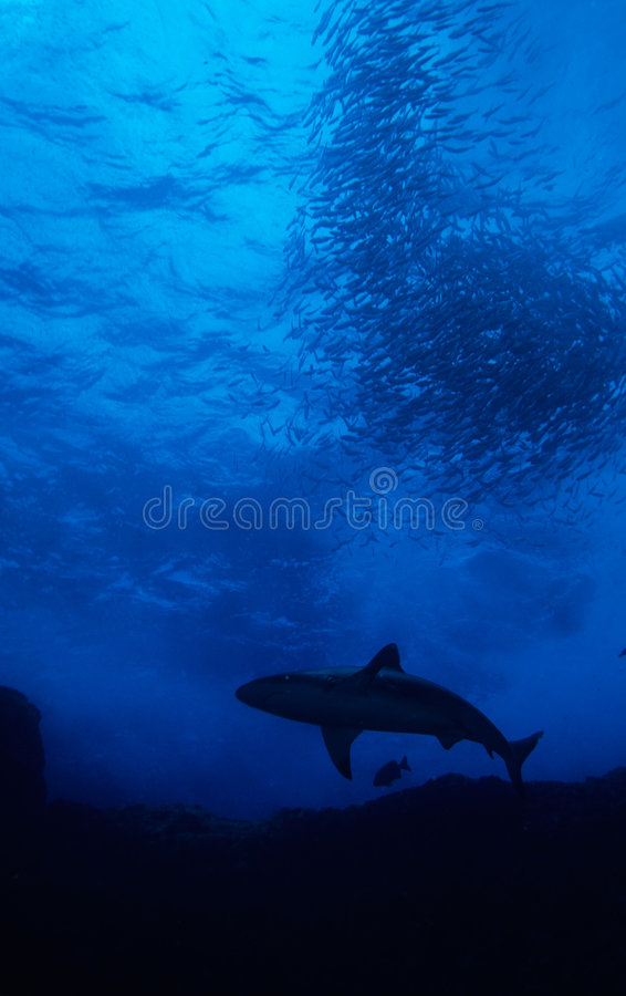Shark with bait ball royalty free stock image