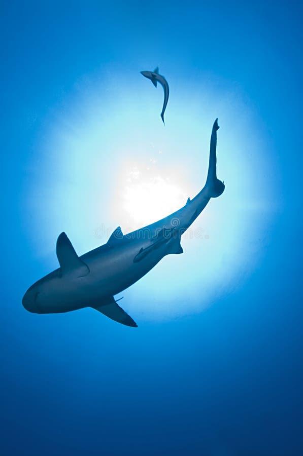Download Shark on blue ocean stock image. Image of predators, reef - 12281271