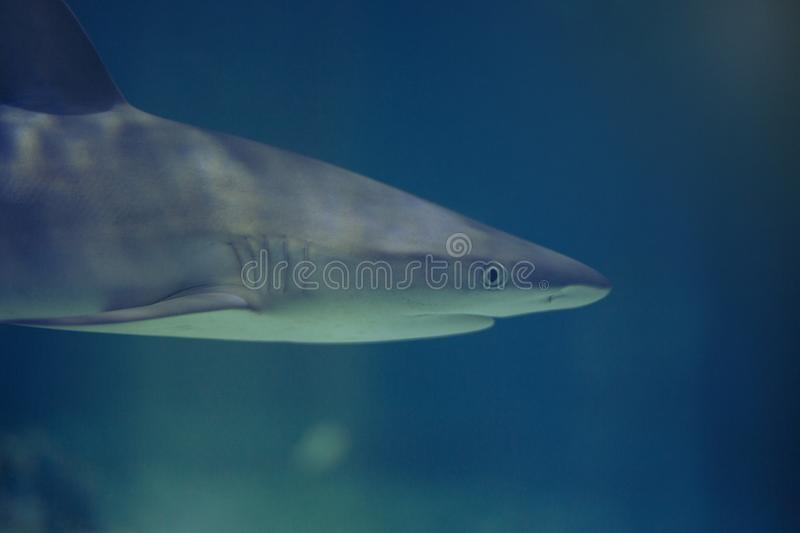 Shark swimming in blue water royalty free stock image
