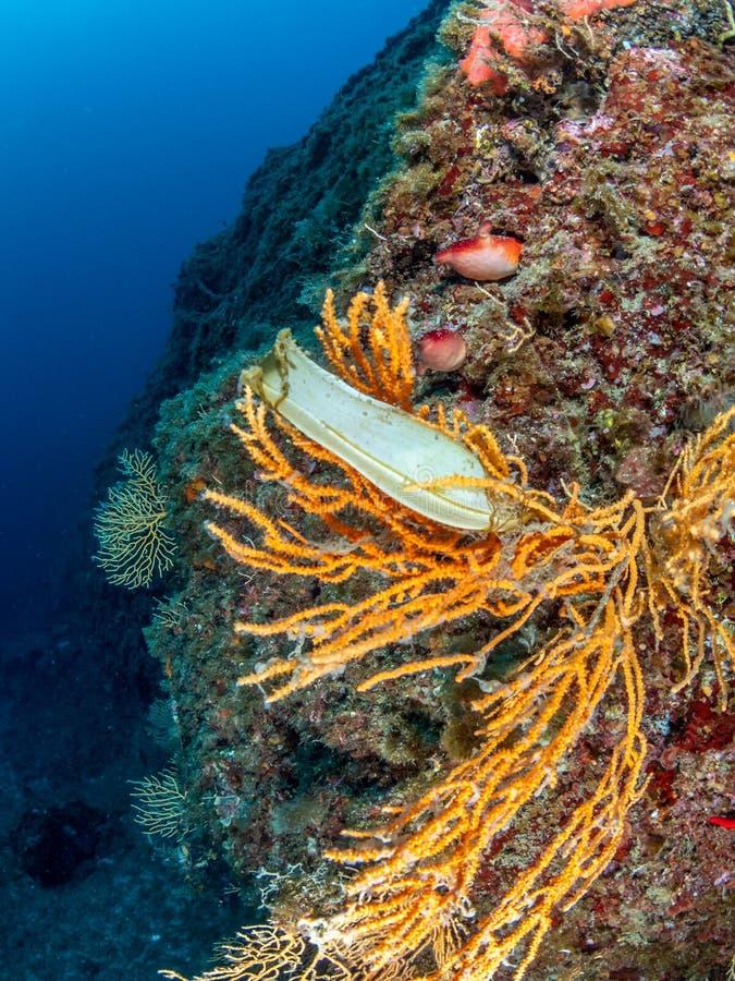 Shark egg in yellow gorgonian, Eunicella cavolini. Procida, Mediterranean Sea. Smaller shark species use the abundant Yellow gorgonian, Eunicella cavolini royalty free stock images
