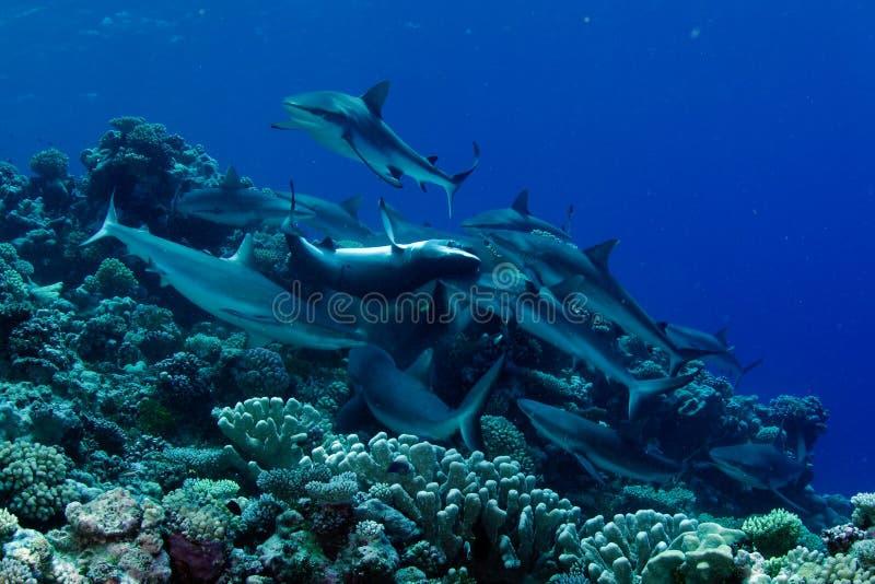 Shark feeding frenzy stock photos