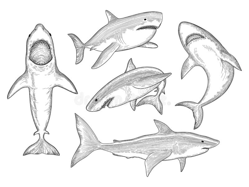 Shark hand drawn. Water creature flowing big monster fish with mouth vector sketch collection. Shark in ocean, animal sea illustration, aquatic predator stock illustration