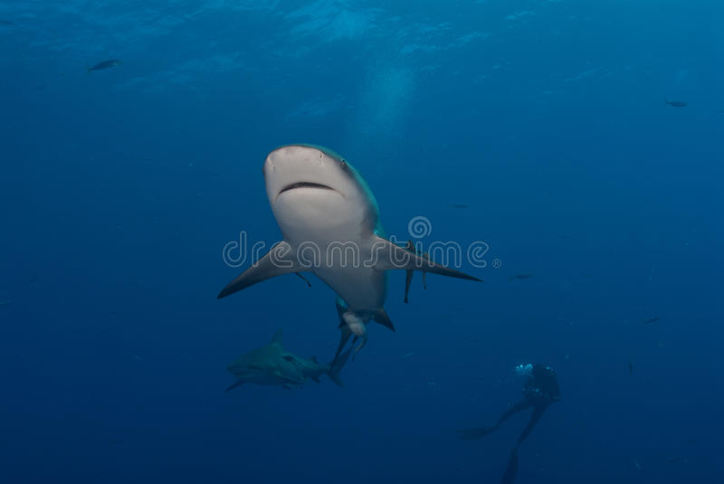 Download Shark interaction stock photo. Image of leucas, ouro - 21360884