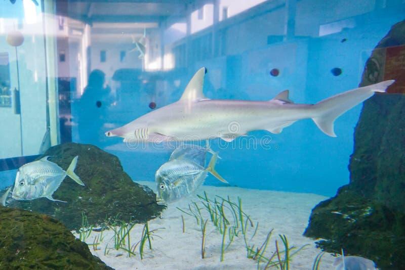 Shark and LOOKDOWN FISH (Selene vomer) royalty free stock photo