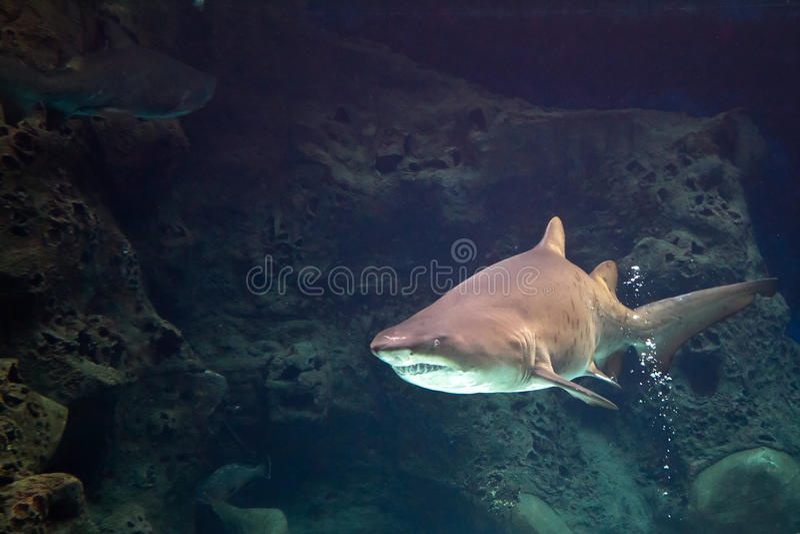 Shark In Natural Aquarium Stock Photo