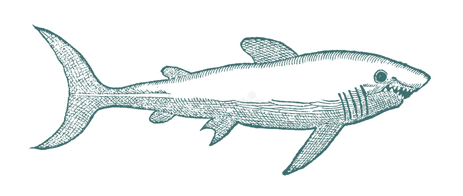 Shark with open mouth. Illustration. Shark with open mouth in profile view. Illustration after a historical or vintage woodcut from the 16th century stock illustration