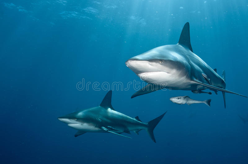 Shark pair stock images