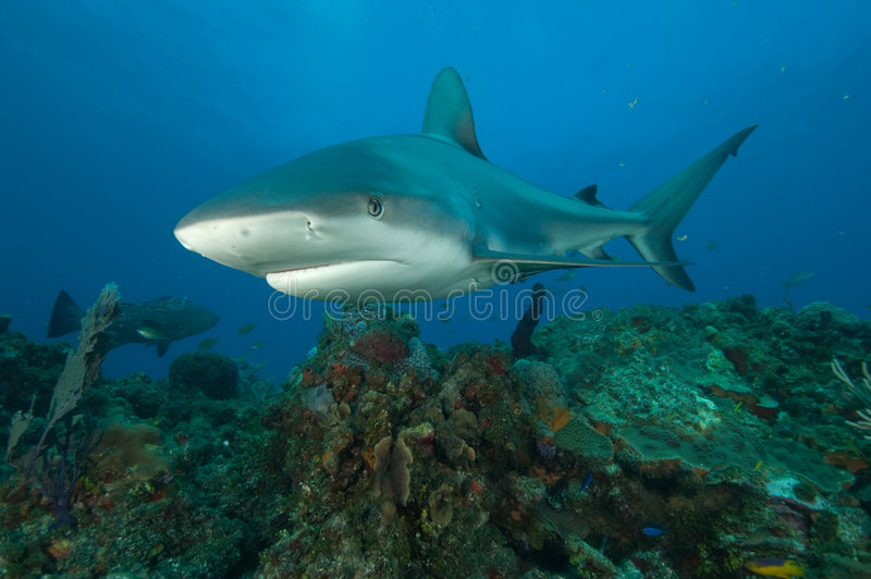 Shark on a reef royalty free stock photos
