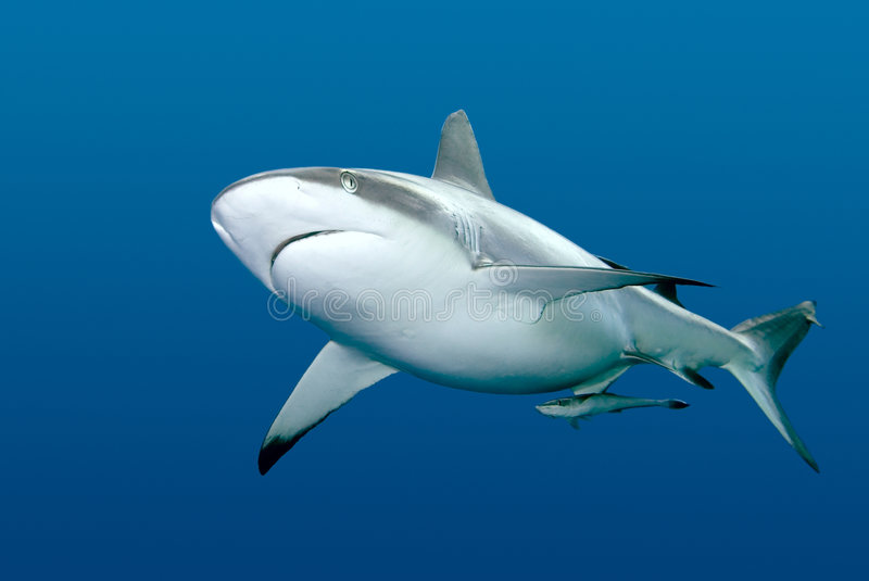 Shark with Remora swimming underwater royalty free stock photos
