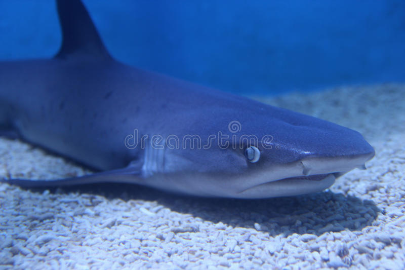Shark at rest in blue water royalty free stock photo