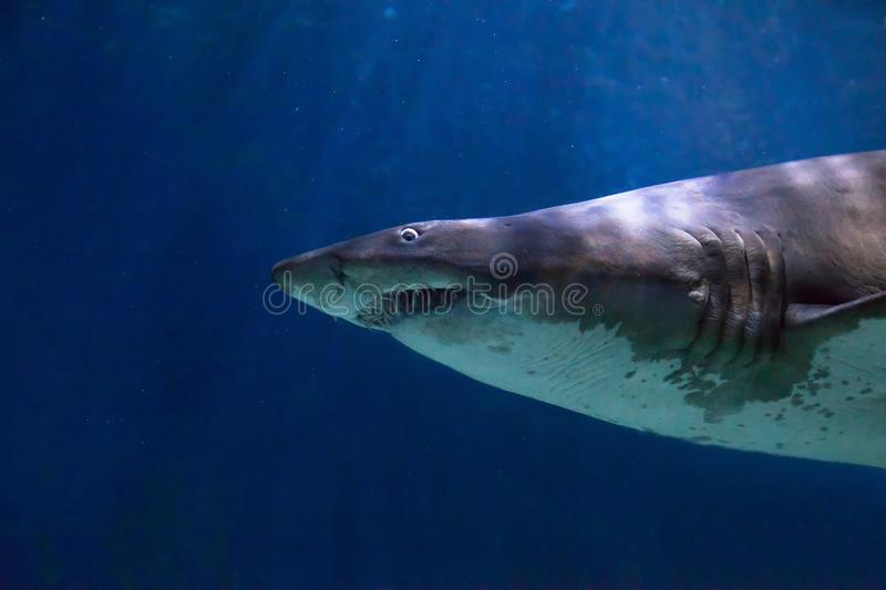 Shark with scary big teeth underwater royalty free stock images
