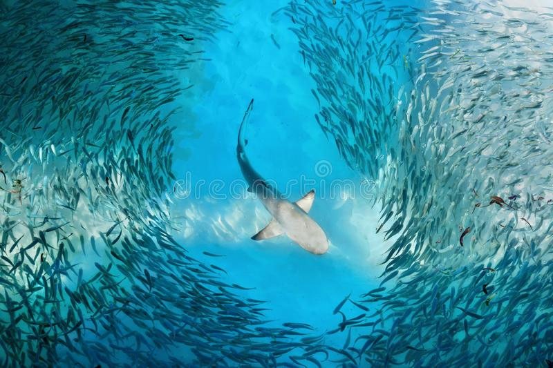 Shark and small fishes in ocean stock image