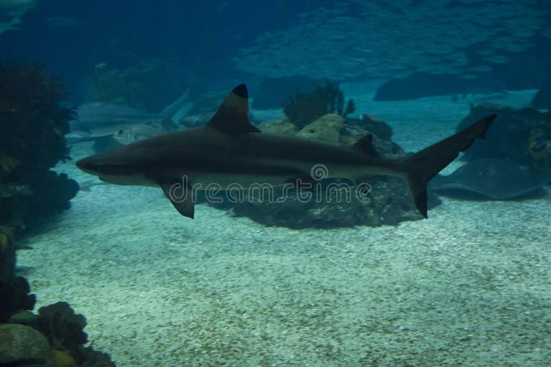 Shark swimming in the depht royalty free stock photography