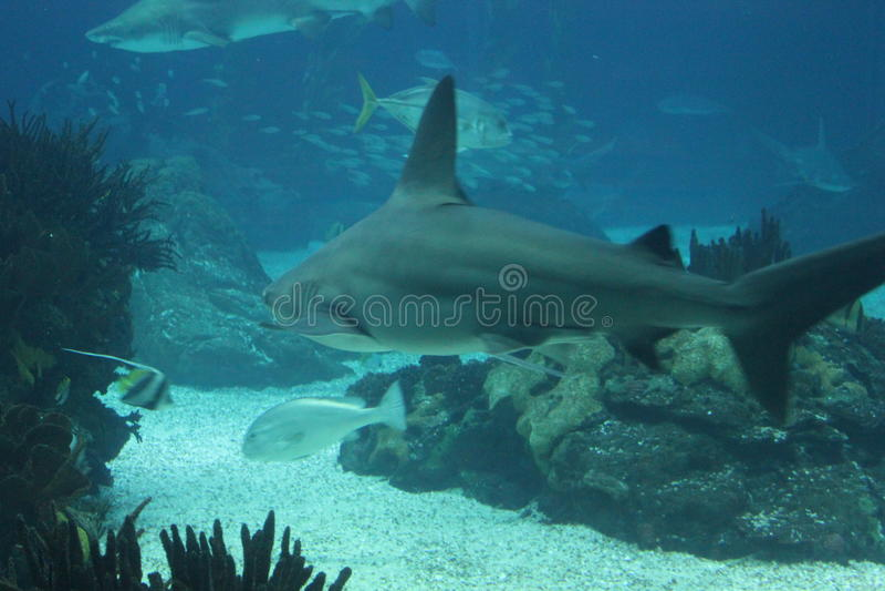 Shark swimming in the depht. Of Lisbon Aquarium in Portugal stock photo