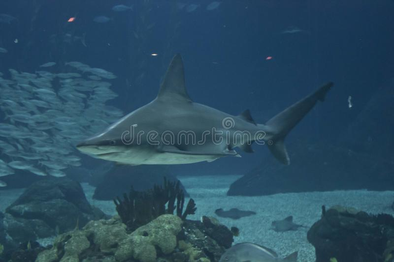 Shark swimming in the depht of Lisbon Aquarium royalty free stock image