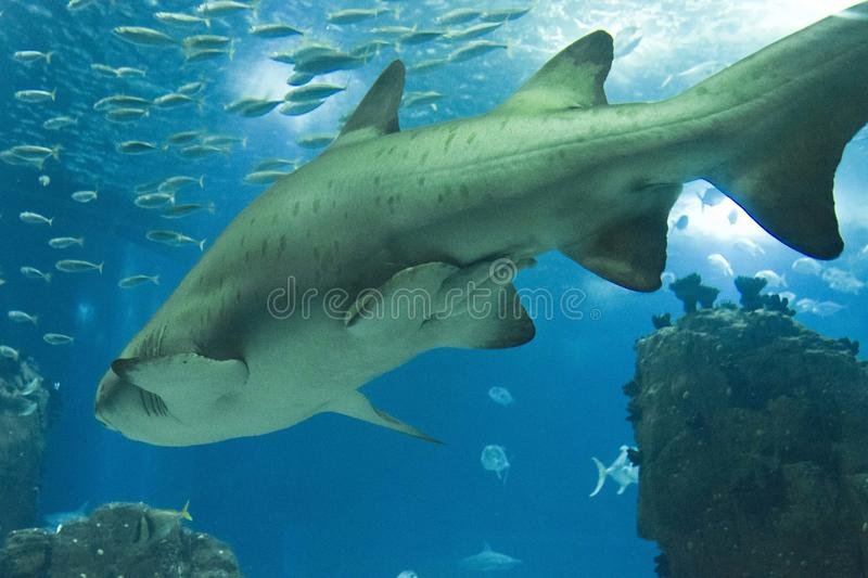 Shark swimming in Lisbon Aquarium royalty free stock images